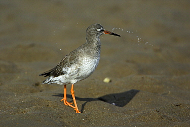 Common Redshank (Tringa totanus) foraging in the mud, Texel, Netherlands  -  Duncan Usher