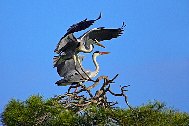 Grey Heron (Ardea cinerea) landing in tree top, Alentejo, Portugal  -  Duncan Usher