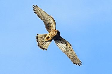 Eurasian Kestrel (Falco tinnunculus) female flying, Lower Saxony, Germany  -  Duncan Usher