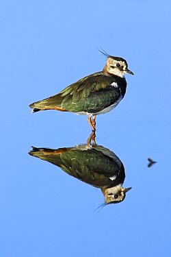 Lapwing (Vanellus vanellus) resting in shallow lake, Northumberland, England  -  Duncan Usher