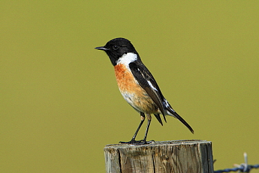Common Stonechat (Saxicola torquata) male on fence post, Alentejo, Portugal  -  Duncan Usher
