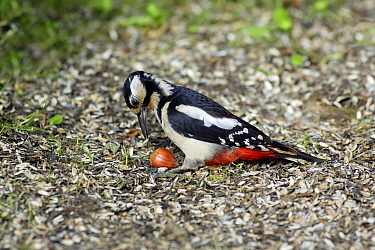 Great Spotted Woodpecker (Dendrocopos major) female carrying nut, Lower Saxony, Germany  -  Duncan Usher
