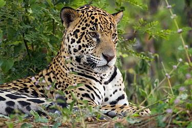 Jaguar (Panthera onca) resting, Pantanal, Brazil  -  Otto Plantema/ Buiten-beeld