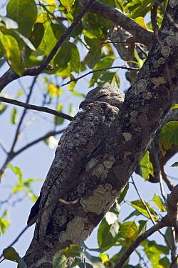 Great Potoo (Nyctibius grandis) resting on tree branch, Pantanal, Brazil  -  Otto Plantema/ Buiten-beeld