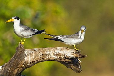 Large-billed Tern (Phaetusa simplex) pair on branch above river, Pantanal, Brazil  -  Otto Plantema/ Buiten-beeld