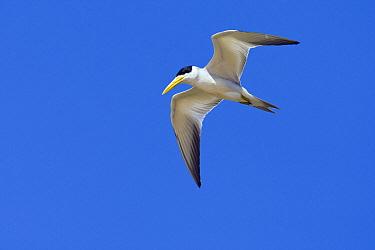 Large-billed Tern (Phaetusa simplex) flying, Pantanal, Brazil  -  Otto Plantema/ Buiten-beeld