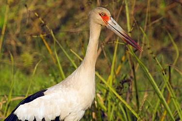 Maguari Stork (Ciconia maguari), Pantanal, Brazil  -  Otto Plantema/ Buiten-beeld