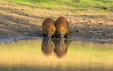 Coatimundi (Nasua nasua) pair drinking, Pantanal, Brazil  -  Otto Plantema/ Buiten-beeld