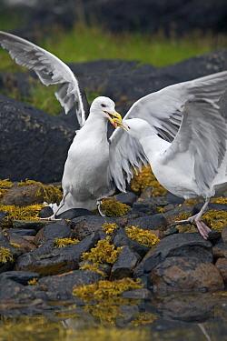 Herring Gull (Larus argentatus) two birds fighting on rocks, Norway  -  Winfried Wisniewski