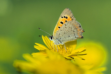 Small Copper (Lycaena phlaeas) on Corn Marigold (Chrysanthemum segetum), Noord-Brabant, Netherlands