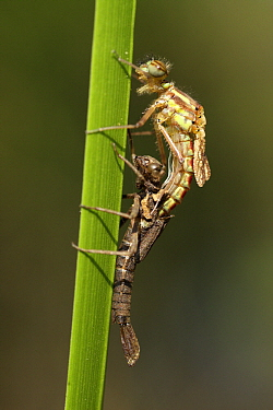 Large Red Damselfly (Pyrrhosoma nymphula) molting, Overijssel, Netherlands. Sequence 6 of 7  -  Karin Rothman/ NiS