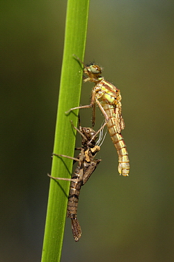 Large Red Damselfly (Pyrrhosoma nymphula) molting, Overijssel, Netherlands. Sequence 7 of 7  -  Karin Rothman/ NiS