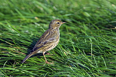 Meadow Pipit (Anthus pratensis), De Putten, Camperduin, Noord-Holland, Netherlands  -  Joke Stuurman/ NiS