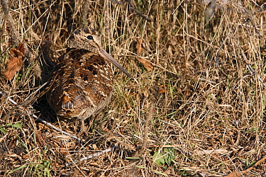Eurasian Woodcock (Scolopax rusticola) camouflaged in grasses, Zuid-Holland, Netherlands  -  Lesley van Loo/ NiS