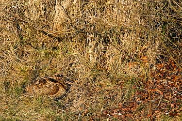 Eurasian Woodcock (Scolopax rusticola) sleeping camouflaged in grass, Zuid-Holland, Netherlands  -  Lesley van Loo/ NiS