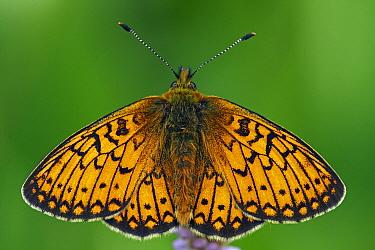 Ocellate Bog Fritillary (Boloria eunomia) butterfly, Eifel, Germany  -  Silvia Reiche