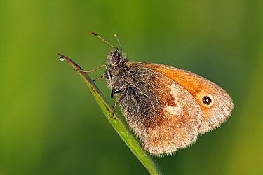 Small Heath (Coenonympha pamphilus) butterfly resting on grass, Eifel, Germany  -  Silvia Reiche
