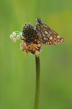 Chequered Skipper (Carterocephalus palaemon) butterfly resting on plantain, Eifel, Germany  -  Silvia Reiche
