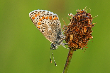 Brown Argus (Aricia agestis) butterfly resting on plantain flowerhead, Eifel, Germany  -  Silvia Reiche