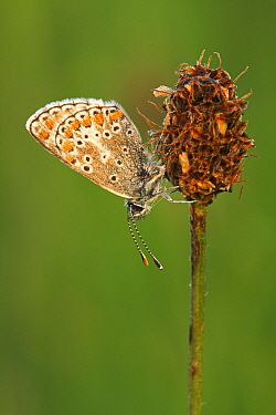 Brown Argus (Aricia agestis) butterfly resting on Plantain (Plantago sp) flowerhead, Eifel, Germany  -  Silvia Reiche