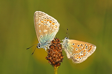 Common Blue (Polyommatus icarus) butterfly pair resting on Plantain (Plantago sp) flowerhead, Eifel, Germany  -  Silvia Reiche