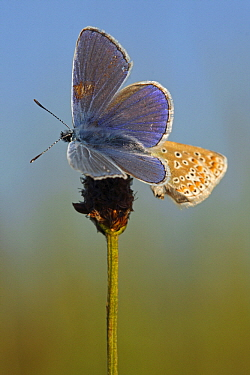Common Blue (Polyommatus icarus) butterfly pair resting on plantain, Eifel, Germany  -  Silvia Reiche