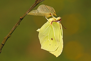 Brimstone (Gonepteryx rhamni) drying its wings after emerging from chrysalis, Eifel, Germany. Sequence 16 of 17  -  Silvia Reiche