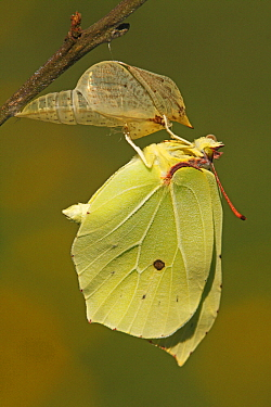 Brimstone (Gonepteryx rhamni) drying its wings after emerging from chrysalis, Eifel, Germany. Sequence 17 of 17  -  Silvia Reiche