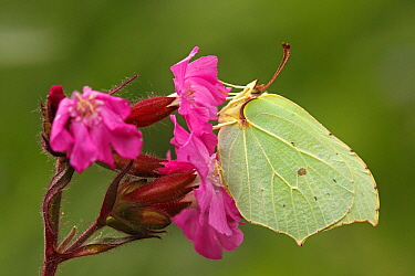 Brimstone (Gonepteryx rhamni) butterfly on Red Campion (Silene dioica), Eifel, Germany  -  Silvia Reiche