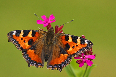 Small Tortoiseshell (Aglais urticae) butterfly on Red Campion (Silene dioica), Hoogeloon, Noord-Brabant, Netherlands  -  Silvia Reiche