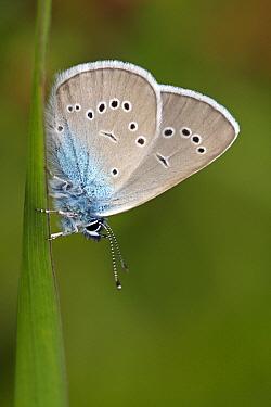 Mazarine Blue (Cyaniris semiargus) butterfly resting on grass, Eifel, Germany  -  Silvia Reiche