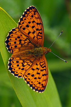 Lesser Marbled Fritillary (Brenthis ino) butterfly, Eifel, Germany  -  Silvia Reiche