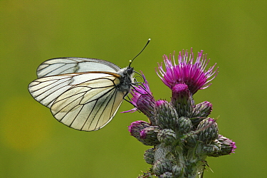 Black-veined White (Aporia crataegi) butterfly feeding on nectar from Marsh Thistle (Cirsium palustre), Eifel, Germany  -  Silvia Reiche