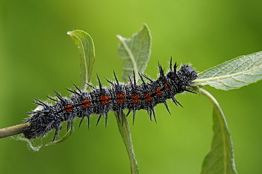 Mourning Cloak (Nymphalis antiopa) caterpillar on leaf, Netherlands  -  Silvia Reiche