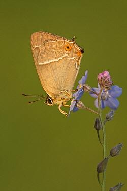 Purple Hairstreak (Neozephyrus quercus)butterfly on Forget-me-not (Myosotris sp) flower, Hoogeloon, Noord-Brabant, Netherlands  -  Silvia Reiche
