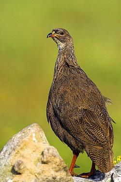 Cape Francolin (Francolinus capensis) male, West Coast National Park, South Africa  -  Martin Woike/ NiS