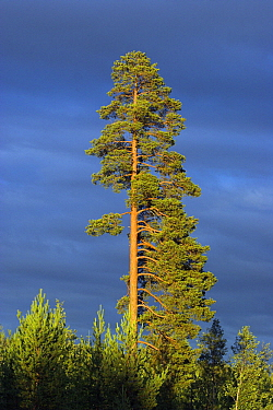 Scotch Pine (Pinus sylvestris), Umea, Sweden  -  Martin Woike/ NiS