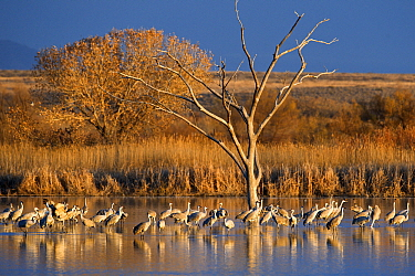 Sandhill Crane (Grus canadensis) group standing in lake, Bosque del Apache National Wildlife Refuge, New Mexico  -  Winfried Wisniewski
