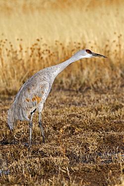 Sandhill Crane (Grus canadensis), Bosque del Apache National Wildlife Refuge, New Mexico  -  Winfried Wisniewski