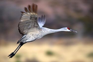Sandhill Crane (Grus canadensis) taking off, Bosque del Apache National Wildlife Refuge, New Mexico  -  Winfried Wisniewski