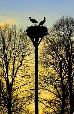 White Stork (Ciconia ciconia) pair at nest, Taarlo, Drenthe, Netherlands  -  Maarten Westmaas/ NiS