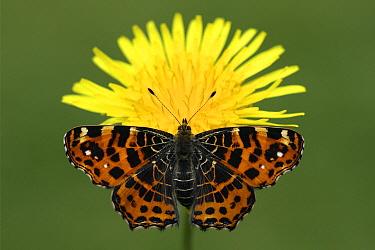 Map Butterfly (Araschnia levana) on Dandelion (Taraxacum officinale), Vriezenveen, Overijssel, Netherlands  -  Karin Rothman/ NiS