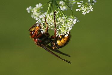 European Hornet (Vespa crabro) on Wild Chervil (Anthriscus sylvestris), Vriezenveen, Overijssel, Netherlands  -  Karin Rothman/ NiS