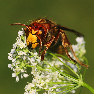 European Hornet (Vespa crabro) on Wild Chervil (Anthriscus sylvestris) flowers, Vriezenveen, Overijssel, Netherlands  -  Karin Rothman/ NiS