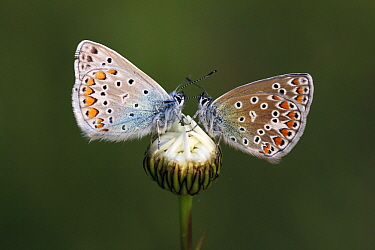 Common Blue (Polyommatus icarus) male and female butterflies on Marguerite (Leucanthemum vulgare), Overijssel, Netherlands  -  Karin Rothman/ NiS