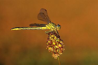 Yellow-legged Clubtail (Gomphus pulchellus) dragonfly on Salad Burnet (Sanguisorba minor), Overijssel, Netherlands  -  Karin Rothman/ NiS