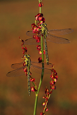 Yellow-legged Clubtail (Gomphus pulchellus) dragonflies on Common Sorrel (Rumex acetosa), Overijssel, Netherlands  -  Karin Rothman/ NiS