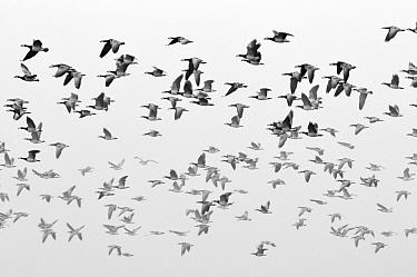 Barnacle Goose (Branta leucopsis) group flying, Friesland, Netherlands  -  Jasper Doest