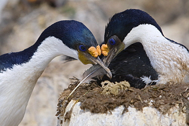 Blue-eyed Cormorant (Phalacrocorax atriceps) pair adding feather to nest, Falkland Islands  -  Heike Odermatt
