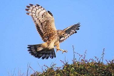 Northern Harrier (Circus cyaneus) landing, Texel, Netherlands  -  Heike Odermatt